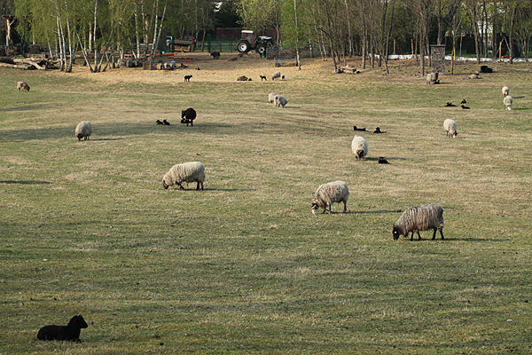 Schafe am Hahneberg