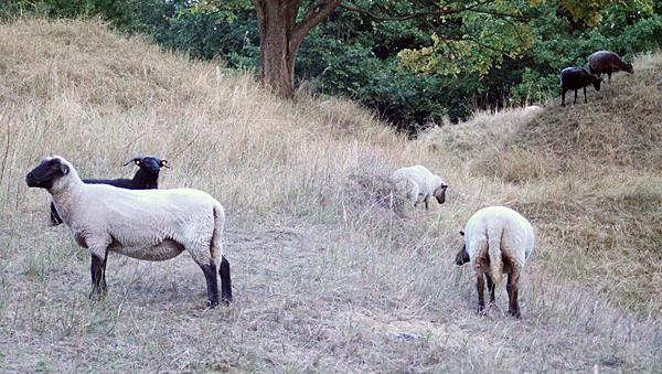 Schafe im Fort Hahneberg, August 2014