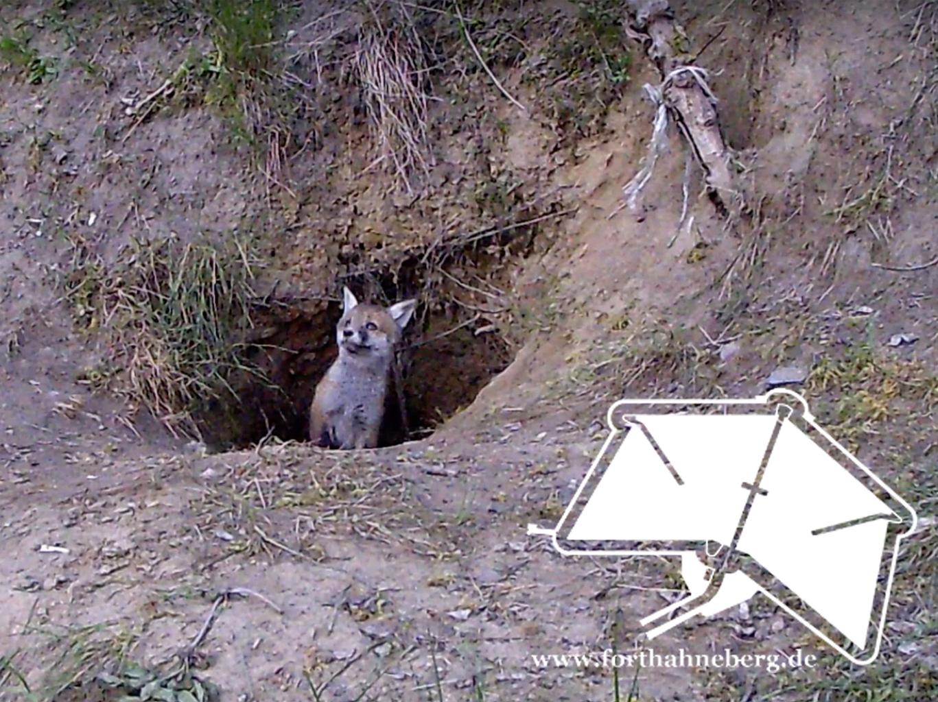 Füchse im Fort