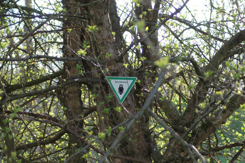 Naturdenkmal – Wildapfel